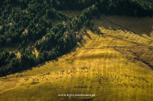 oraz stado krów na pewnej polanie...