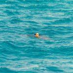 w Zatoce Laganas udało nam się wypatrzyć upragnionego żółwia Carreta Carreta...
